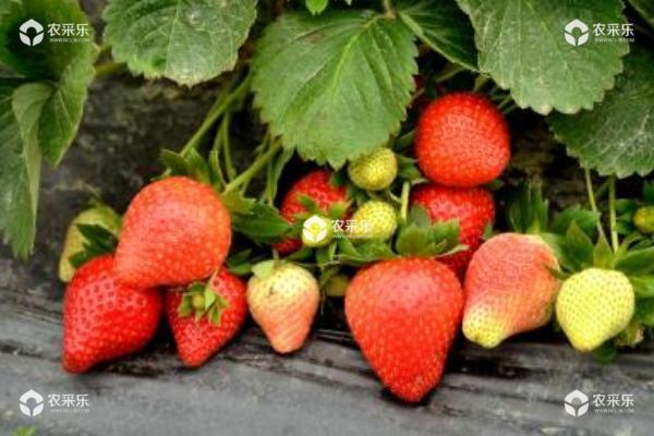 大棚里的草莓打药吗