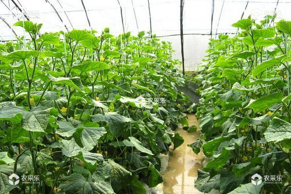 黄瓜的种植方法和时间