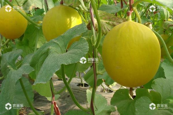 甜瓜种植时间和方法