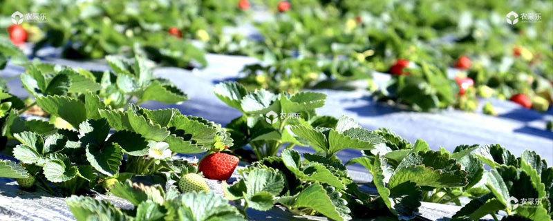 露天草莓种植时间和方法