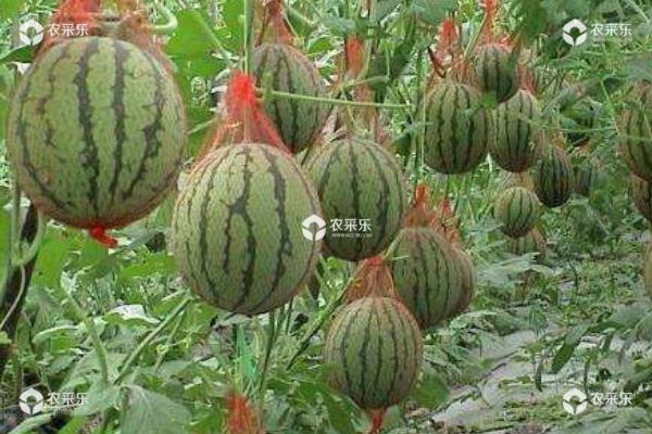 种植西瓜的株距和行距