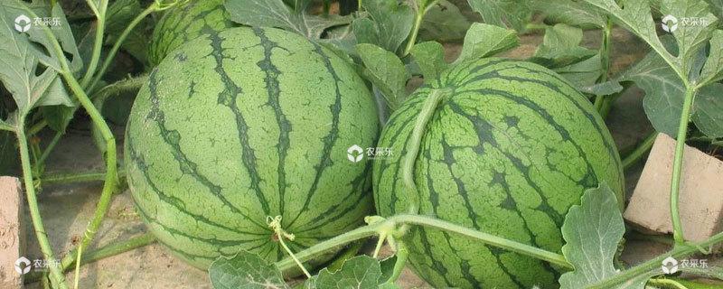 春西瓜的种植时间