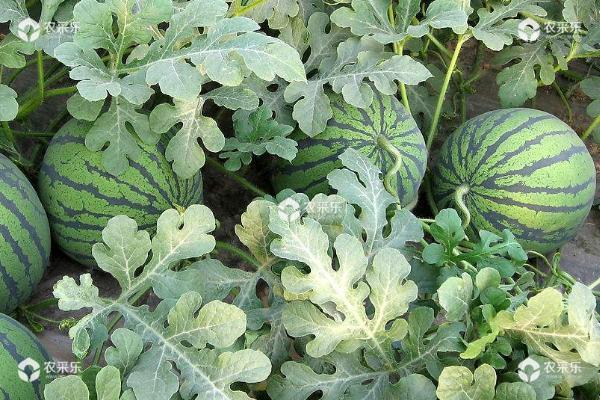 西瓜高产高效种植技术
