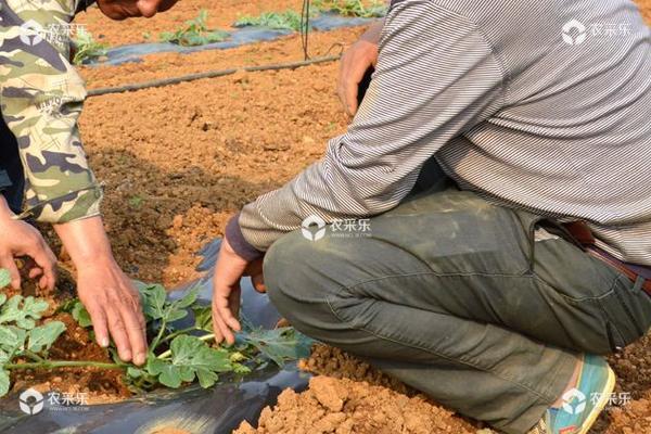 西瓜怎样种植产量高产