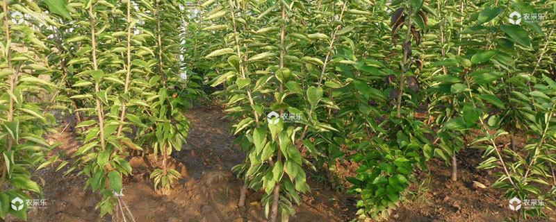 樱桃苗种植方法