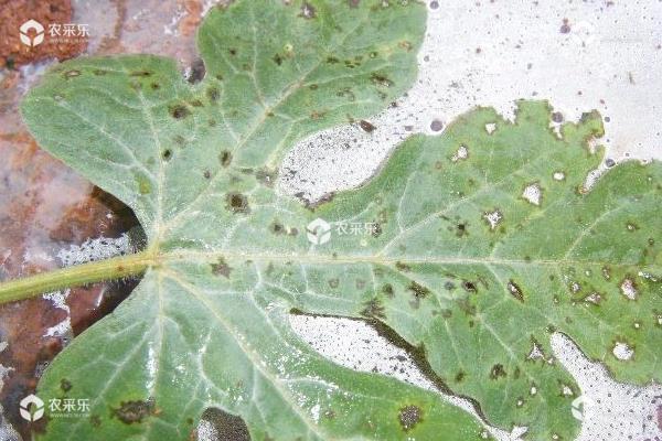 西瓜常见的九种病害