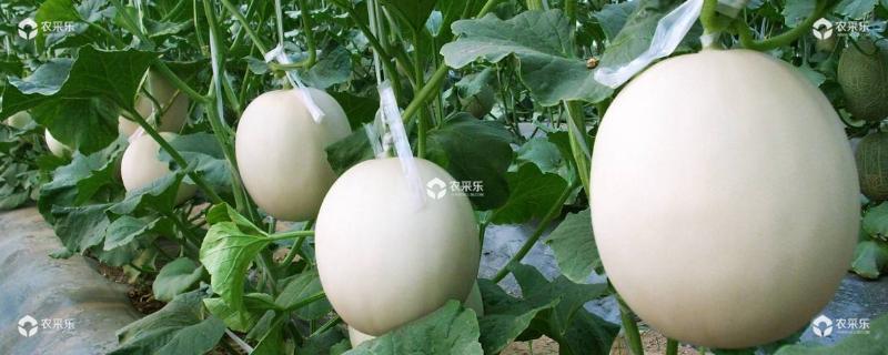 甜瓜几月份种植,什么时候成熟上市