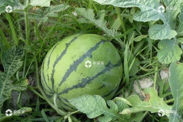 西瓜苗怎么培育和种植